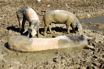 Glückliche Hausschweine