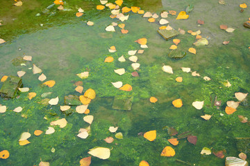 Fallen Leaves on Algae