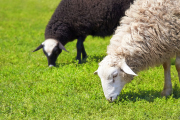 Sheep grazing on a green meadow