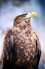 American sea eagle portrait