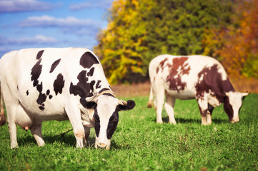 Two spotted cows on a green meadow in the autumn