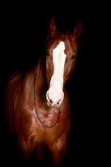 Hanoverian breed horse.