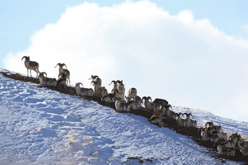 Flock of sheep Marco Polo on vacation on the hillside,