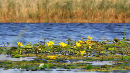 Yellow flowers in Danube Delta.They are floating on the water.