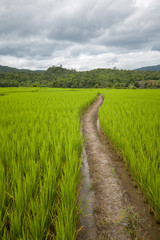 pathway in rice field with cloudy sky