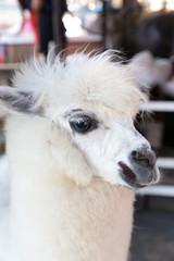 Alpaca at the zoo in closeup
