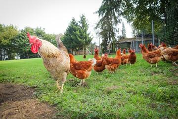 Geflügelhaltung - Hahn mit Hühnern im Hühnergehege