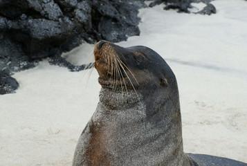 Otarie des Galapagos