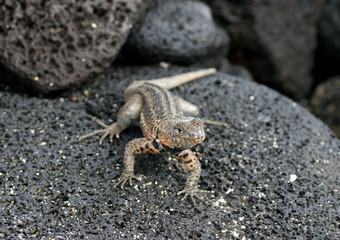 lezard aux Galapagos
