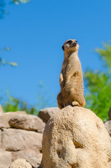 Meerkat looking out at the zoo