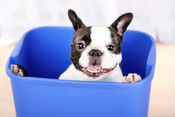 Cute French bulldog in bin on light background