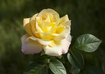 Цветок. Желтая роза.