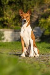 Small hunting dog breed Basenji
