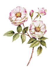 Botanical White rose flower watercolor