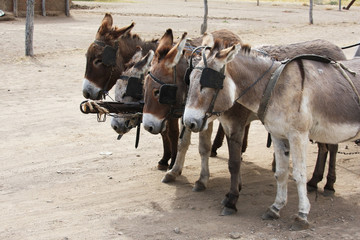 Four donkeys in the shore with a cart. Team village donkeys