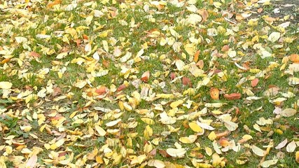 Dead yellow leaves falling on the lawn