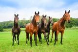Pferdezucht, fünf junge Hengste auf der Weide