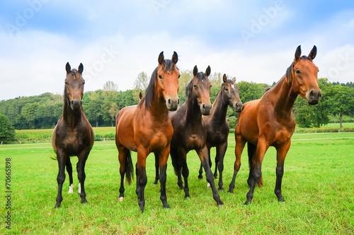 Pferdezucht, fünf junge Hengste auf der Weide - 70665898