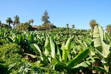 Wide angle shot of the banana plantation.