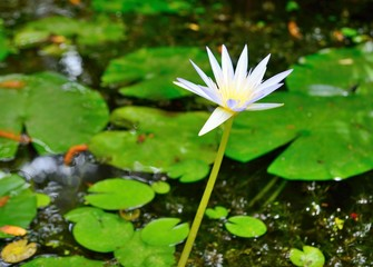 White water lily flower with green leaves in the background.