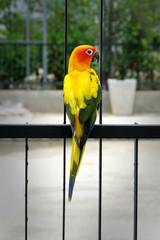 Lovely Sun Conure bird on the fence