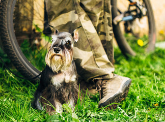 Miniature Schnauzer Dog Sitting In Green Grass Outdoor