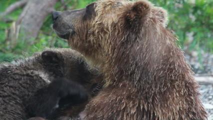 Cubs drink milk bears.