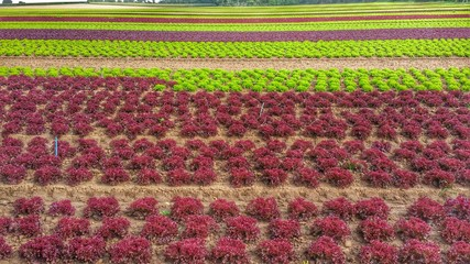 Großes Salatfeld