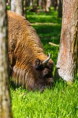 European bison in Prioksko-Terrasny Nature Reserve