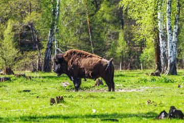 American bison in Prioksko-Terrasny Nature Reserve