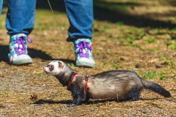 domestic ferret taking a walk on a leash outside
