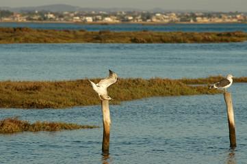Gaviotas en la Bahía de Cádiz,España