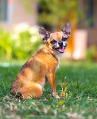 Doggie Chihuahua