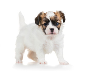 Portrait cute puppy of breed papillon