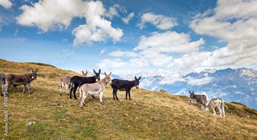 Poster Ezel asini al pascolo in alta montagna