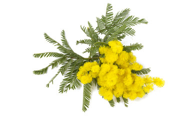 mimosa isolated on white background