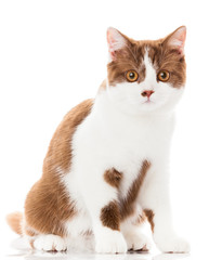 British shorthair cat on a white background. british cat isolate