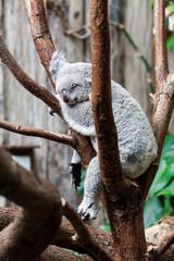 Australian Koala Bear sleep on a tree trunk. Koala relaxing on A