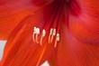 canvas print picture - Detail einer roten Amaryllis