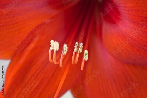 canvas print picture Detail einer roten Amaryllis