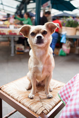 Chihuahua dog on table