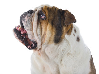Head of English bulldog dog looking up