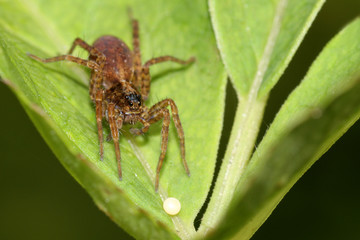 Spinne mit Ei