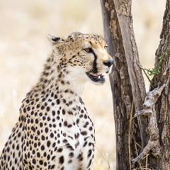 Cheetah of the Serengeti plains