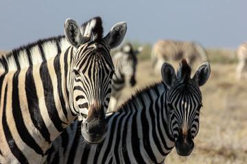 Portrait of two curious Zebras, Etosha, Namibia