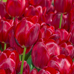 red tulips  in detail