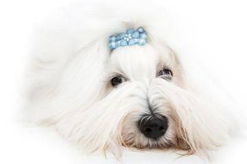 Isolierter Coton de Tulear Hund - Baumwollhund mit Schleife