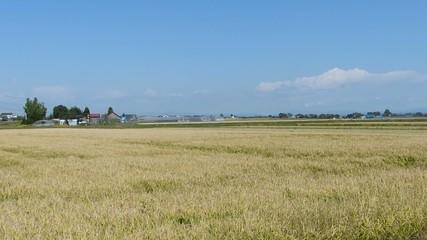 米の収穫作業の様子_6