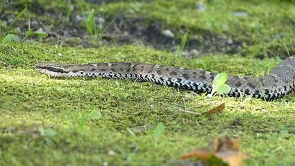 危険なヘビ。毒をもつマムシ_4