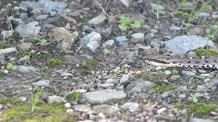 危険なヘビ。毒をもつマムシ_3